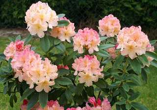 Najpiękniejsze odmiany rododendronów